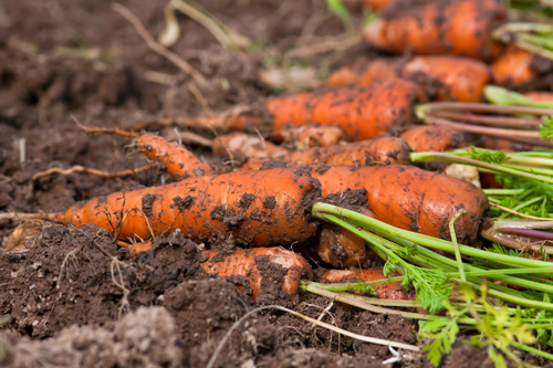fresh harvested carrots in the vegetable garden, closeup